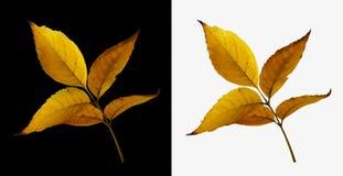 Απομονωμένα φύλλα δέντρων φθινοπώρου στο κίτρινο χρώμα Στοκ εικόνα με δικαίωμα ελεύθερης χρήσης