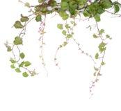 απομονωμένα φύλλα κισσών Στοκ Εικόνα