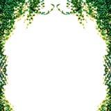 απομονωμένα φύλλα κισσών Στοκ Φωτογραφίες