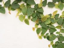 απομονωμένα φύλλα κισσών Στοκ φωτογραφίες με δικαίωμα ελεύθερης χρήσης