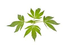 Απομονωμένα φύλλα μαριχουάνα Στοκ Εικόνα