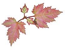 Απομονωμένα φύλλα σφενδάμου Στοκ εικόνες με δικαίωμα ελεύθερης χρήσης
