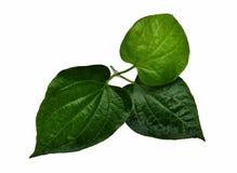 Απομονωμένα φύλλα του wildbetal leafbush στα άσπρα ταϊλανδικά τρόφιμα υποβάθρου και συστατικών Στοκ φωτογραφία με δικαίωμα ελεύθερης χρήσης