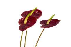 Απομονωμένα anthurium λουλούδια Στοκ Εικόνα