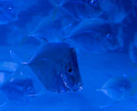 Απομονωμένα Lookdown ψάρια που κολυμπούν σε ένα σχολείο στοκ φωτογραφίες με δικαίωμα ελεύθερης χρήσης