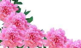 Απομονωμένα peony λουλούδια με τα φύλλα Στοκ φωτογραφίες με δικαίωμα ελεύθερης χρήσης