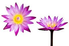 Απομονωμένη άνθιση ανθών Lotus ή λουλουδιών κρίνων νερού Στοκ Εικόνα