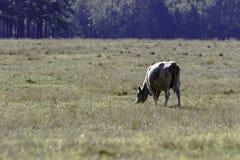 Απομονωμένη αγελάδα που βόσκει - οριζόντια στοκ φωτογραφία με δικαίωμα ελεύθερης χρήσης