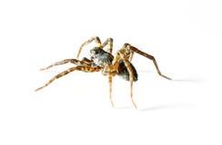 απομονωμένη αράχνη Στοκ Φωτογραφία