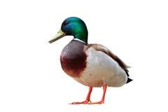 Απομονωμένη αρσενική πάπια πρασινολαιμών Στοκ φωτογραφία με δικαίωμα ελεύθερης χρήσης