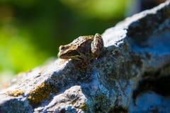 απομονωμένη βάτραχος μακροεντολή εστίασης ματιών eyed πέρα από το κόκκινο λευκό δέντρων βράχου Στοκ Φωτογραφίες