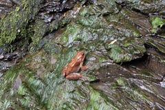 απομονωμένη βάτραχος μακροεντολή εστίασης ματιών eyed πέρα από το κόκκινο λευκό δέντρων βράχου Στοκ φωτογραφίες με δικαίωμα ελεύθερης χρήσης