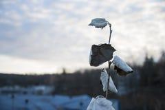 Απομονωμένη γκρίζα λεύκα Στοκ φωτογραφία με δικαίωμα ελεύθερης χρήσης