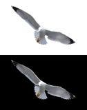 απομονωμένη γλάρος θάλασ&s Στοκ εικόνες με δικαίωμα ελεύθερης χρήσης