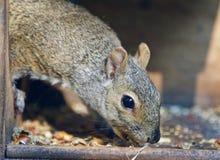 Απομονωμένη εικόνα με έναν αστείο σκίουρο που τρώει τα καρύδια Στοκ εικόνες με δικαίωμα ελεύθερης χρήσης
