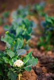 Απομονωμένη εκλεκτική εστίαση των εγκαταστάσεων λάχανων που φυτεύονται στις σειρές στο αγρόκτημα με το ανασκαμμένο χώμα έτοιμο να στοκ εικόνα