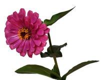 απομονωμένη η λουλούδι Zinnia Στοκ φωτογραφία με δικαίωμα ελεύθερης χρήσης