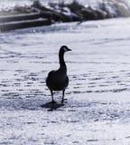 Απομονωμένη κρύα χήνα Στοκ Φωτογραφία