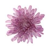 απομονωμένη λουλούδι πα&s Στοκ εικόνα με δικαίωμα ελεύθερης χρήσης