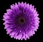 Απομονωμένη λουλούδι ρόδινος-πορφύρα gerbera στο μαύρο υπόβαθρο closeup Για το σχέδιο στοκ φωτογραφίες με δικαίωμα ελεύθερης χρήσης