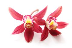 απομονωμένη λουλούδι orchid πορφύρα Στοκ εικόνα με δικαίωμα ελεύθερης χρήσης