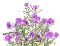 Απομονωμένη ομάδα ιωδών λουλουδιών κήπων Στοκ Φωτογραφία
