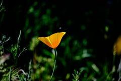 Απομονωμένη παπαρούνα της Αριζόνα Στοκ φωτογραφία με δικαίωμα ελεύθερης χρήσης