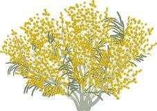 Απομονωμένη πολύβλαστη κίτρινη απεικόνιση mimosa Στοκ Εικόνα
