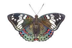 Απομονωμένη ραχιαία άποψη της κοινής φανταχτερής πεταλούδας Euthalia βαρώνων Στοκ Εικόνες