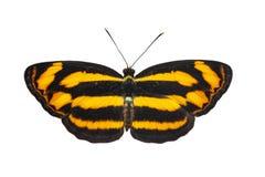 Απομονωμένη ραχιαία άποψη της κοινής lascar πεταλούδας Pantoporia hor Στοκ φωτογραφία με δικαίωμα ελεύθερης χρήσης