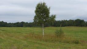 Απομονωμένη σημύδα Στοκ Εικόνες