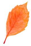 Απομονωμένη φύλλο συλλογή φθινοπώρου Στοκ φωτογραφία με δικαίωμα ελεύθερης χρήσης