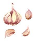 Απομονωμένη watercolor απεικόνιση σκόρδου Στοκ Φωτογραφίες