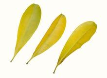 απομονωμένος ανασκόπηση άσπρος κίτρινος φύλλων Στοκ φωτογραφία με δικαίωμα ελεύθερης χρήσης