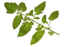 απομονωμένος βγάζει φύλλα την ντομάτα Στοκ Φωτογραφίες