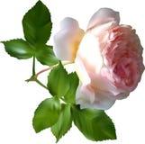 Απομονωμένος ενιαίος ανοικτό ροζ αυξήθηκε λουλούδι Στοκ Φωτογραφία