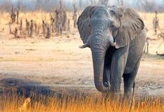 Απομονωμένος ελέφαντας που περπατά στις ξηρές πεδιάδες στο εθνικό πάρκο Hwange στοκ εικόνες με δικαίωμα ελεύθερης χρήσης