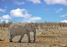 Απομονωμένος ελέφαντας που περπατά στο θάμνο veld σε Etosha με το με ραβδώσεις στο υπόβαθρο Στοκ Εικόνα