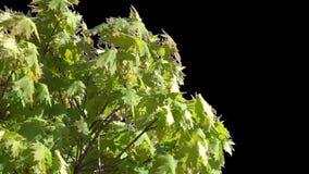 Απομονωμένος κλάδος δέντρων με τα πράσινα φύλλα απόθεμα βίντεο