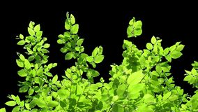 Απομονωμένος κλάδος δέντρων με τα πράσινα φύλλα φιλμ μικρού μήκους