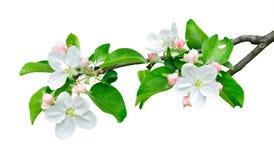 Απομονωμένος κλάδος μήλων με τα λουλούδια Στοκ φωτογραφία με δικαίωμα ελεύθερης χρήσης