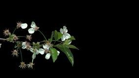 Απομονωμένος κλάδος του δέντρου κερασιών με τα άσπρα λουλούδια απόθεμα βίντεο