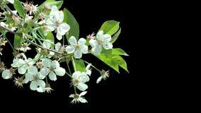 Απομονωμένος κλάδος του δέντρου κερασιών με τα άσπρα λουλούδια φιλμ μικρού μήκους