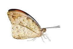 Απομονωμένος κοντά επάνω του μεγάλου πορτοκαλιού ασβεστίου Anthocharis πεταλούδων ακρών Στοκ φωτογραφία με δικαίωμα ελεύθερης χρήσης