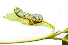 Απομονωμένος κύκλος ζωής μετασχηματισμού ενωμένος swallowtail butterf Στοκ Φωτογραφία