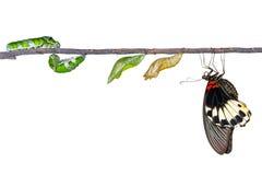 Απομονωμένος κύκλος ζωής της θηλυκής μεγάλης των Μορμόνων πεταλούδας από το caterp Στοκ Φωτογραφίες