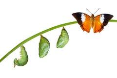 Απομονωμένος κύκλος ζωής της καστανόξανθης πεταλούδας Rajah στο λευκό Στοκ φωτογραφία με δικαίωμα ελεύθερης χρήσης