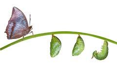 Απομονωμένος κύκλος ζωής της καστανόξανθης πεταλούδας Rajah στο λευκό Στοκ εικόνες με δικαίωμα ελεύθερης χρήσης