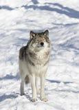 Απομονωμένος λύκος ξυλείας ή γκρίζος Λύκος Canis λύκων που απομονώνεται στο άσπρο υπόβαθρο που στέκεται στο χειμερινό χιόνι στον  στοκ εικόνες