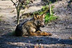 απομονωμένος λύκος Στοκ φωτογραφίες με δικαίωμα ελεύθερης χρήσης